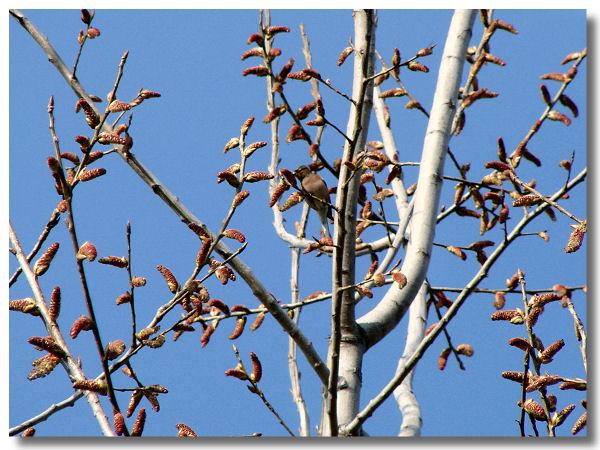 topola stablo s muškim resama